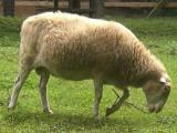 White Polled Heath  sheep - cxvris jishebi