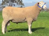 White Suffolk  sheep - cxvris jishebi