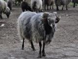 Wrzos?wka  sheep - cxvris jishebi