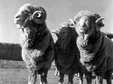 Xinjiang Fine Wool  sheep - cxvris jishebi