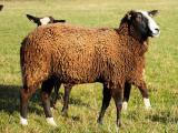 Zwartbles  sheep - cxvris jishebi